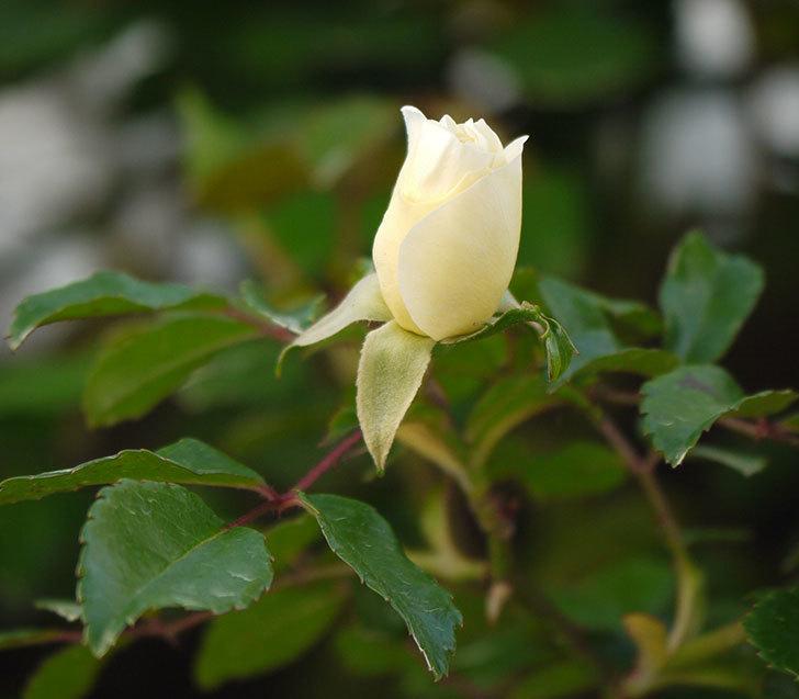 アルベリック・バルビエ(ツルバラ)の花が少し咲いた。2018年-1.jpg
