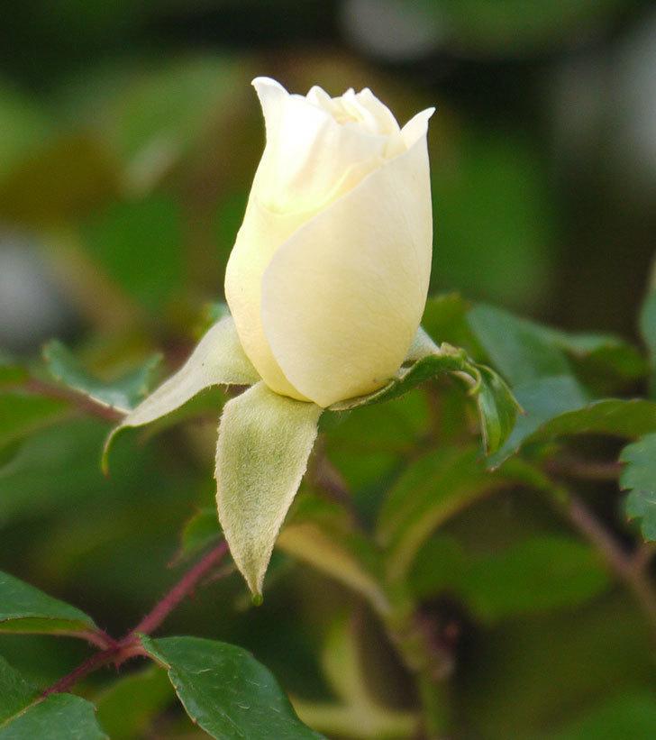 アルベリック・バルビエ(ツルバラ)の花が少し咲いた。2018年-2.jpg