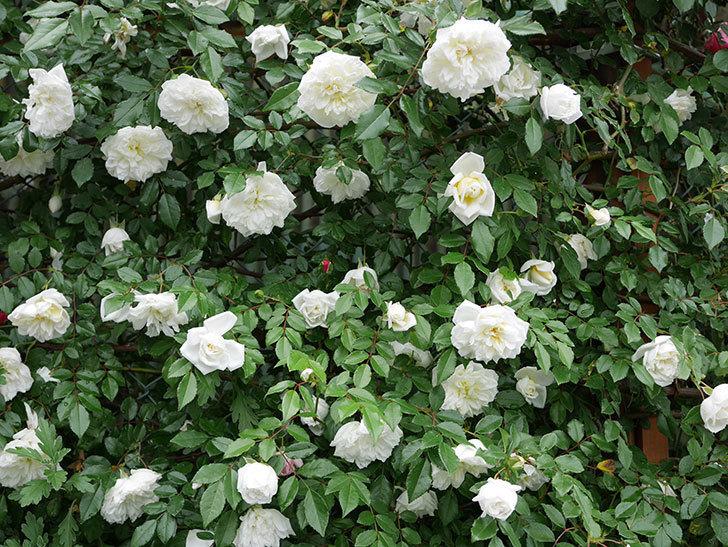 アルベリック・バルビエ(ツルバラ)の花が満開になった。2018年-1.jpg