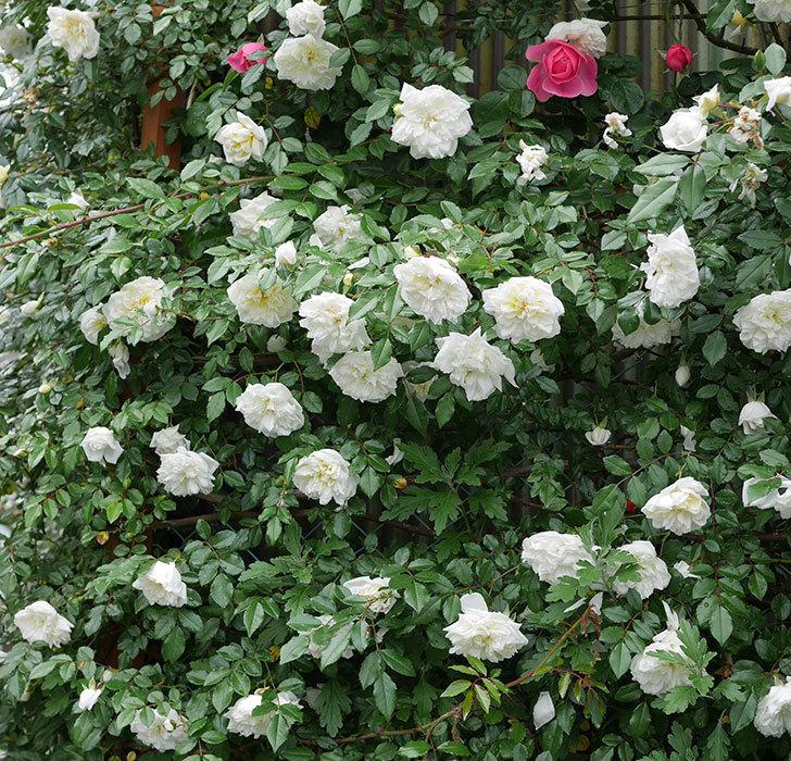 アルベリック・バルビエ(ツルバラ)の花が満開になった。2018年-12.jpg