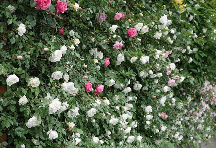 アルベリック・バルビエ(ツルバラ)の花が満開になった。2018年-13.jpg