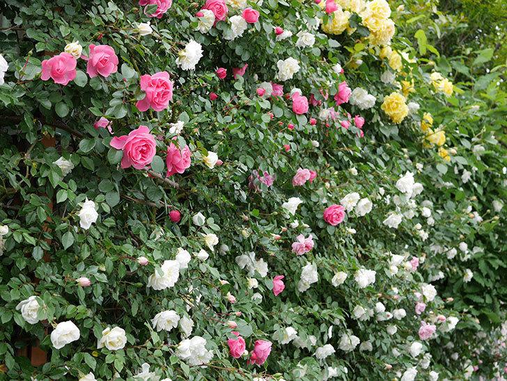 アルベリック・バルビエ(ツルバラ)の花が満開になった。2018年-14.jpg