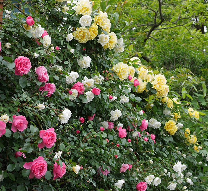 アルベリック・バルビエ(ツルバラ)の花が満開になった。2018年-15.jpg