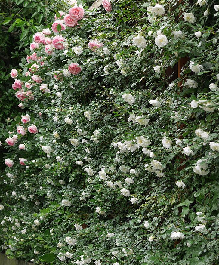 アルベリック・バルビエ(ツルバラ)の花が満開になった。2018年-16.jpg