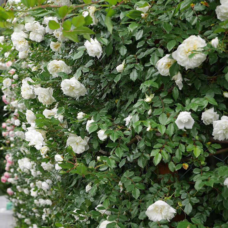 アルベリック・バルビエ(ツルバラ)の花が満開になった。2018年-17.jpg