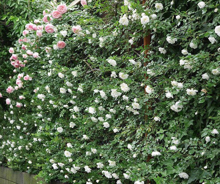 アルベリック・バルビエ(ツルバラ)の花が満開になった。2018年-18.jpg