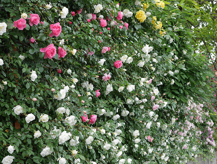 アルベリック・バルビエ(ツルバラ)の花が満開になった。2018年-19.jpg