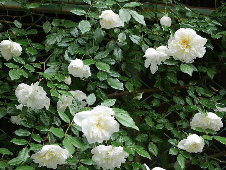 アルベリック・バルビエ(ツルバラ)の花が満開になった。2018年-2.jpg
