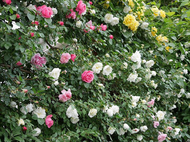 アルベリック・バルビエ(ツルバラ)の花が満開になった。2018年-20.jpg