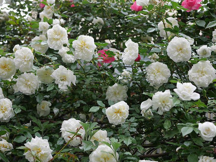 アルベリック・バルビエ(ツルバラ)の花が満開になった。2018年-22.jpg