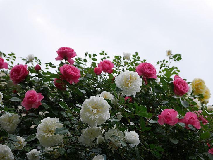 アルベリック・バルビエ(ツルバラ)の花が満開になった。2018年-23.jpg