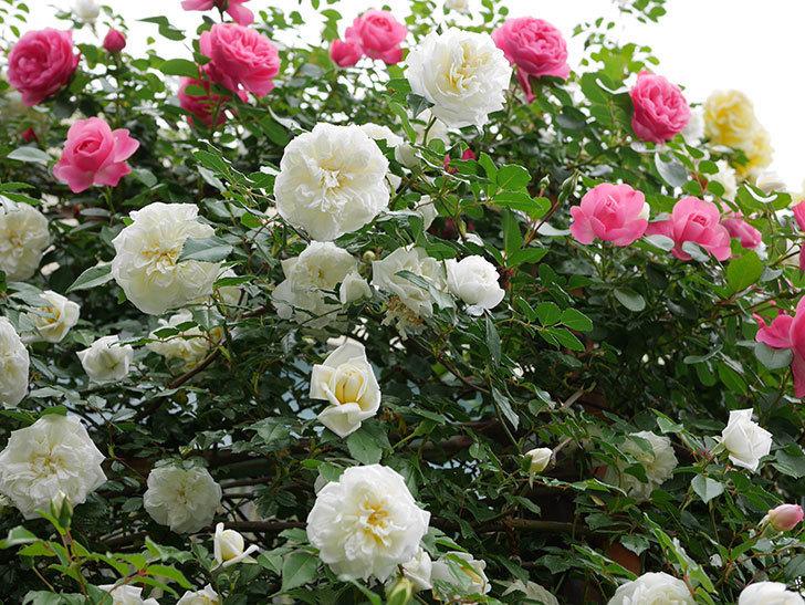アルベリック・バルビエ(ツルバラ)の花が満開になった。2018年-24.jpg