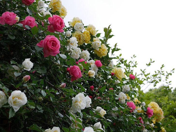 アルベリック・バルビエ(ツルバラ)の花が満開になった。2018年-25.jpg