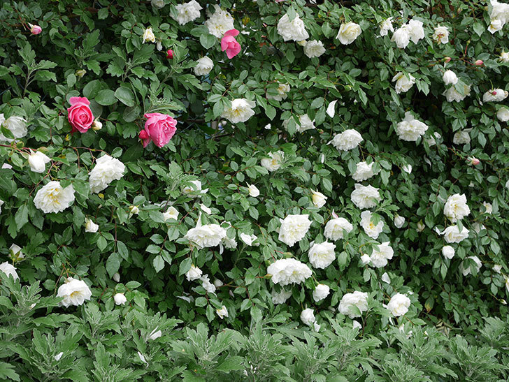 アルベリック・バルビエ(ツルバラ)の花が満開になった。2018年-26.jpg