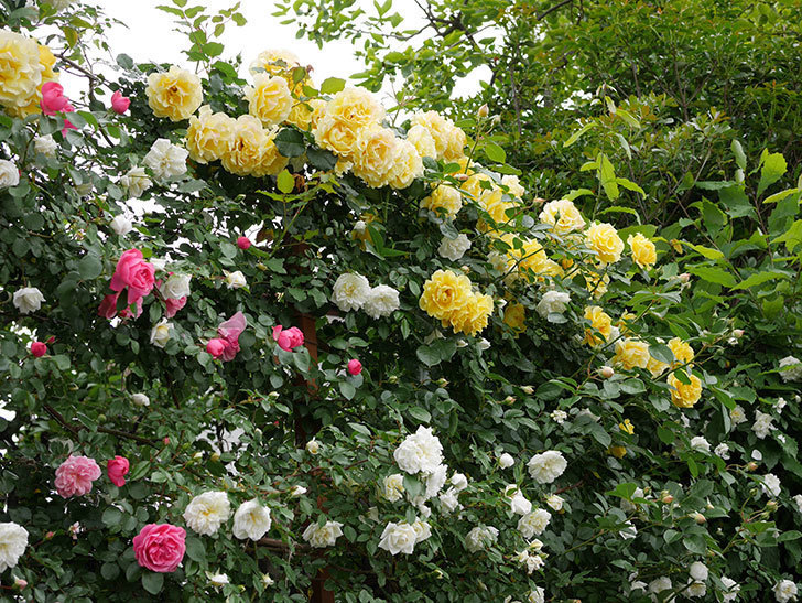アルベリック・バルビエ(ツルバラ)の花が満開になった。2018年-27.jpg