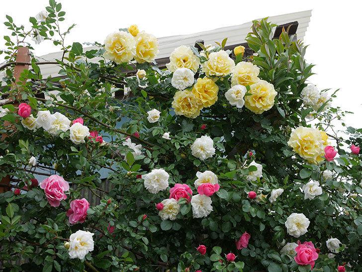 アルベリック・バルビエ(ツルバラ)の花が満開になった。2018年-28.jpg
