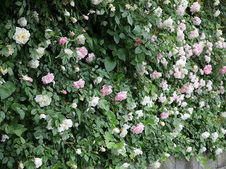 アルベリック・バルビエ(ツルバラ)の花が満開になった。2018年-29.jpg