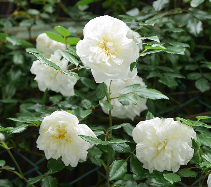 アルベリック・バルビエ(ツルバラ)の花が満開になった。2018年-3.jpg