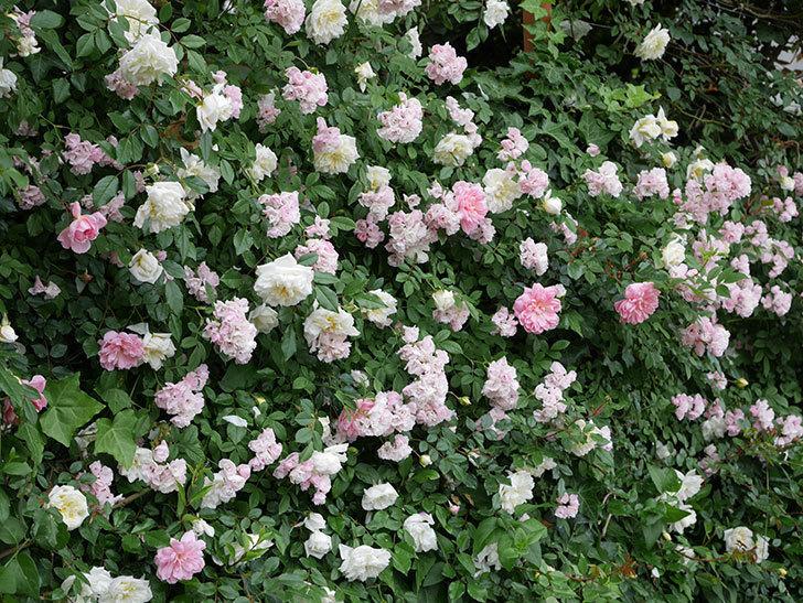アルベリック・バルビエ(ツルバラ)の花が満開になった。2018年-30.jpg