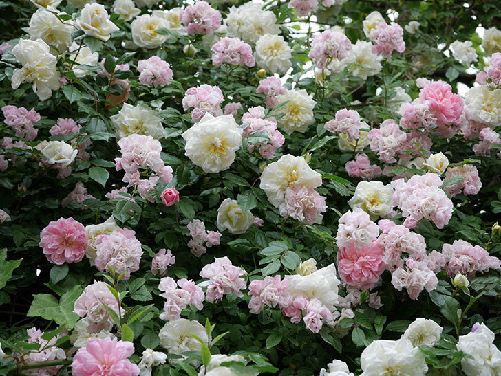 アルベリック・バルビエ(ツルバラ)の花が満開になった。2018年-31.jpg