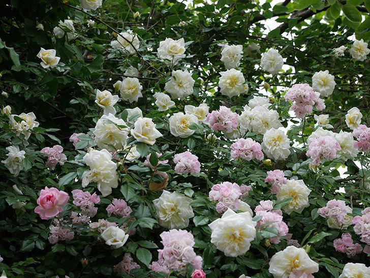 アルベリック・バルビエ(ツルバラ)の花が満開になった。2018年-32.jpg