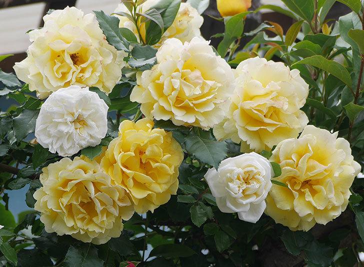 アルベリック・バルビエ(ツルバラ)の花が満開になった。2018年-33.jpg