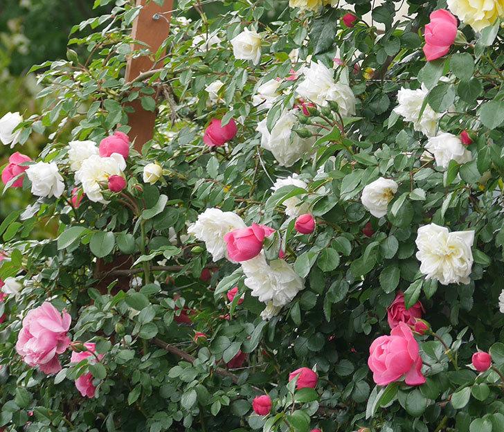 アルベリック・バルビエ(ツルバラ)の花が満開になった。2018年-34.jpg