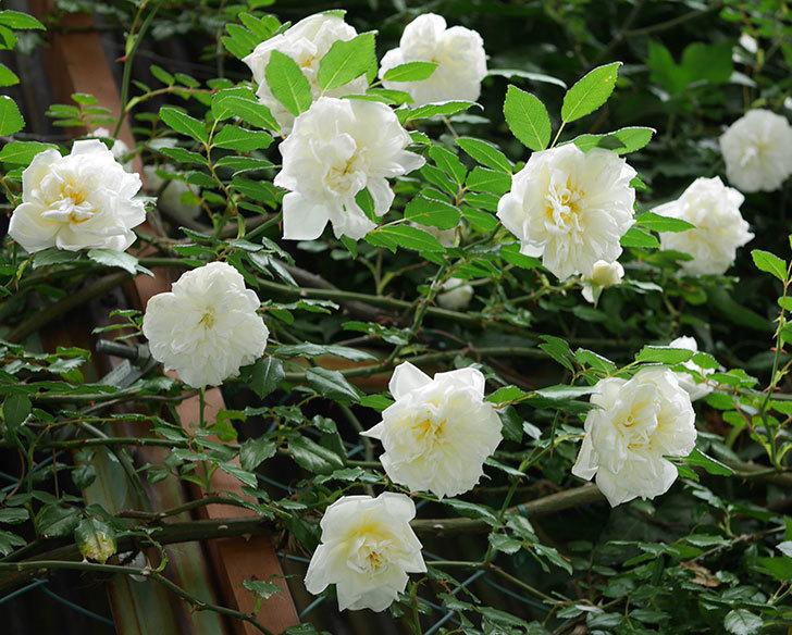 アルベリック・バルビエ(ツルバラ)の花が満開になった。2018年-4.jpg
