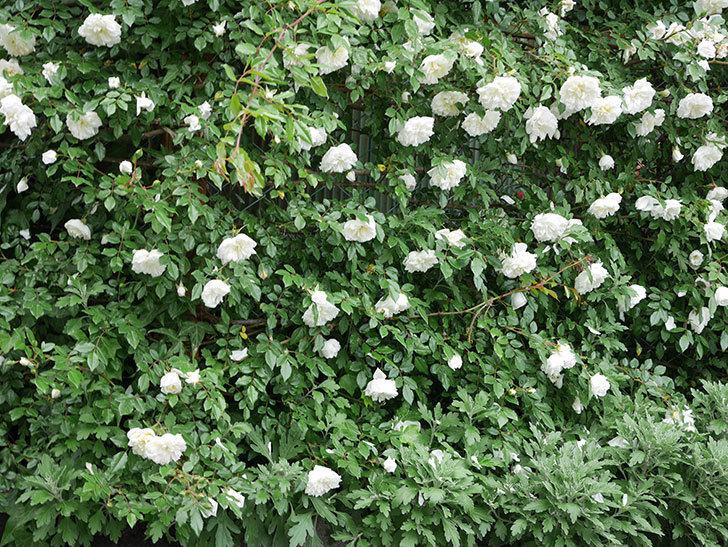 アルベリック・バルビエ(ツルバラ)の花が満開になった。2018年-5.jpg