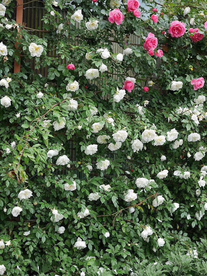 アルベリック・バルビエ(ツルバラ)の花が満開になった。2018年-6.jpg
