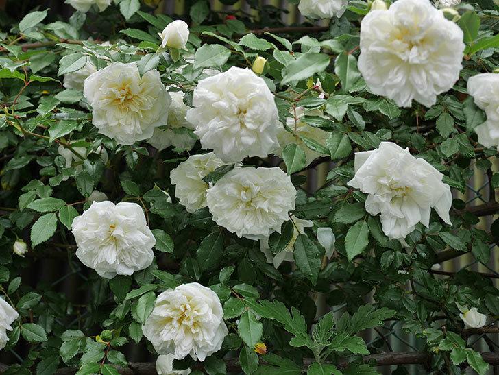 アルベリック・バルビエ(ツルバラ)の花が満開になった。2018年-8.jpg