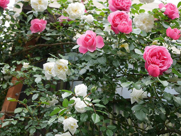 アルベリック・バルビエ(ツルバラ)の花が満開になった。2018年-9.jpg