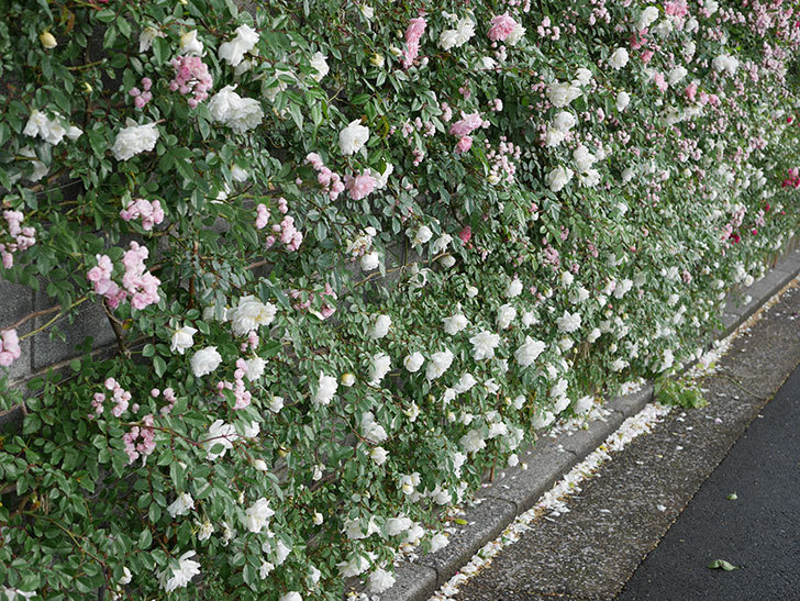アルベリック・バルビエ(ツルバラ)の花が満開になった。2020年-1.jpg