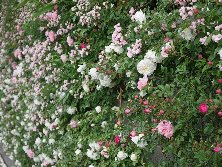 アルベリック・バルビエ(ツルバラ)の花が満開になった。2020年-10.jpg