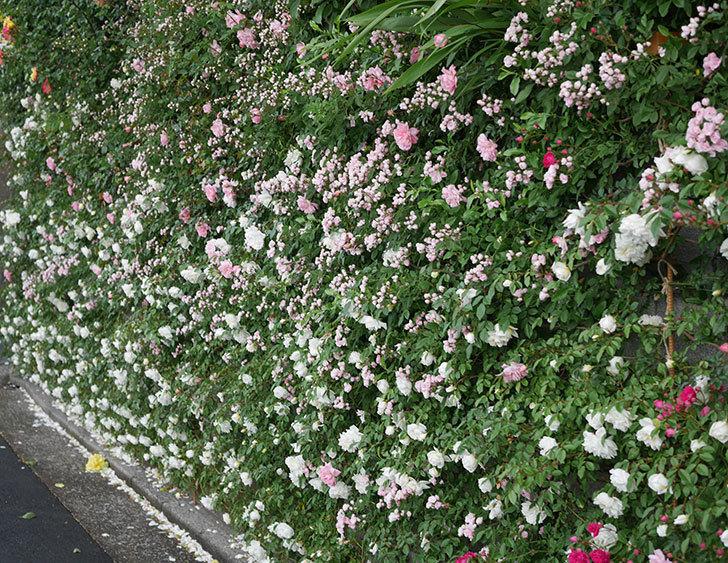 アルベリック・バルビエ(ツルバラ)の花が満開になった。2020年-11.jpg
