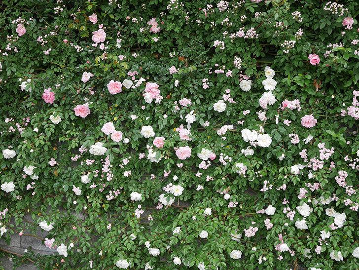 アルベリック・バルビエ(ツルバラ)の花が満開になった。2020年-12.jpg
