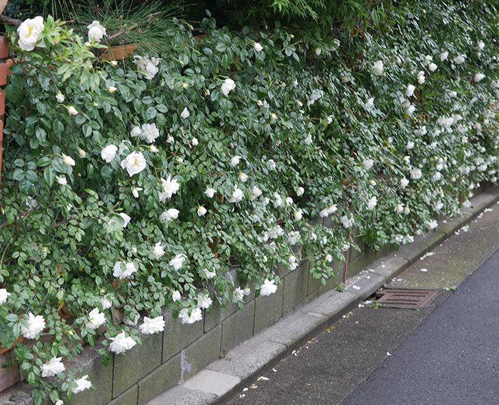 アルベリック・バルビエ(ツルバラ)の花が満開になった。2020年-2.jpg