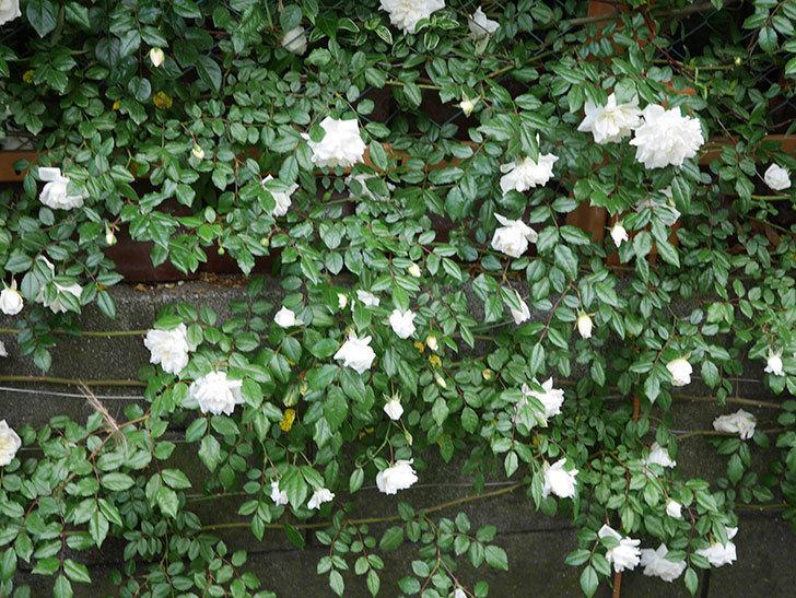 アルベリック・バルビエ(ツルバラ)の花が満開になった。2020年-3.jpg