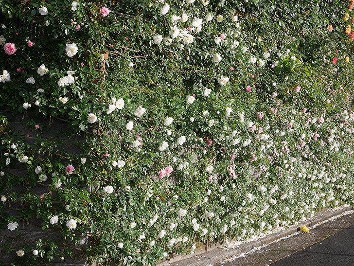 アルベリック・バルビエ(ツルバラ)の花が満開になった。2020年-5.jpg
