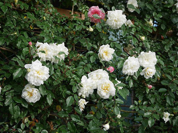 アルベリック・バルビエ(ツルバラ)の花が満開になった。2020年-6.jpg