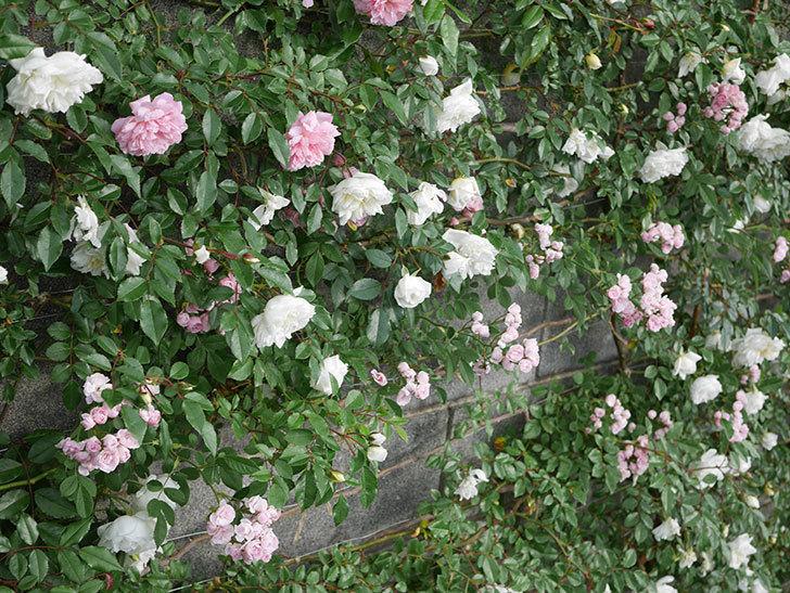 アルベリック・バルビエ(ツルバラ)の花が満開になった。2020年-7.jpg