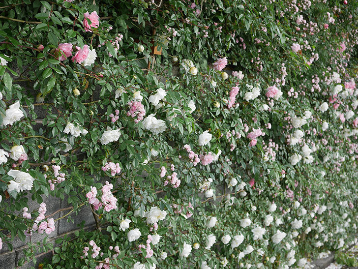 アルベリック・バルビエ(ツルバラ)の花が満開になった。2020年-8.jpg