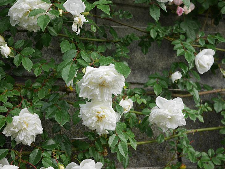 アルベリック・バルビエ(ツルバラ)の花が満開になった。2020年-9.jpg