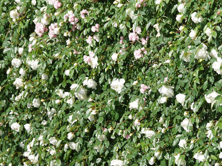 アルベリック・バルビエ(ツルバラ)の花が満開になった。ツルバラ。2021年-001.jpg
