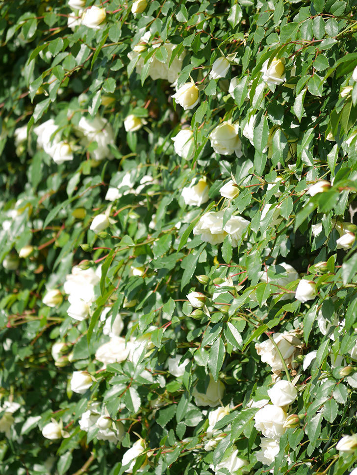 アルベリック・バルビエ(ツルバラ)の花が満開になった。ツルバラ。2021年-002.jpg
