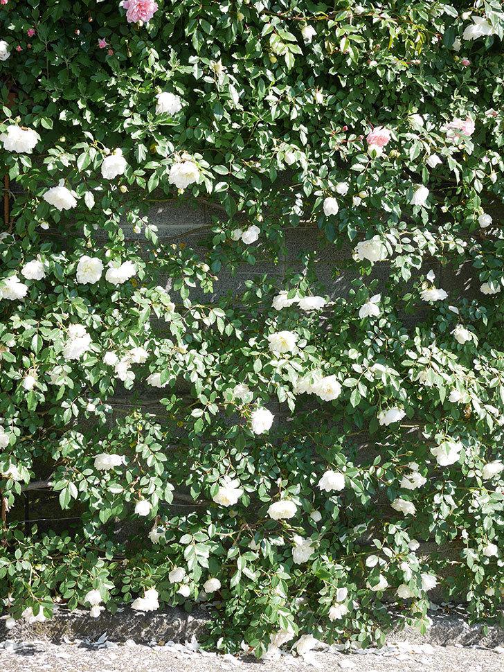 アルベリック・バルビエ(ツルバラ)の花が満開になった。ツルバラ。2021年-003.jpg