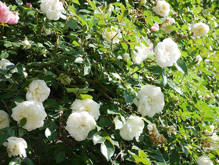 アルベリック・バルビエ(ツルバラ)の花が満開になった。ツルバラ。2021年-004.jpg