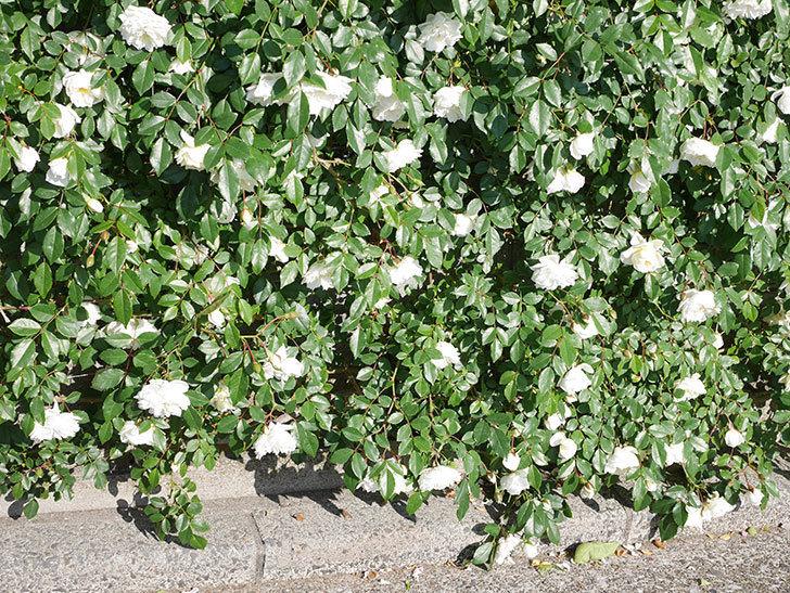 アルベリック・バルビエ(ツルバラ)の花が満開になった。ツルバラ。2021年-006.jpg