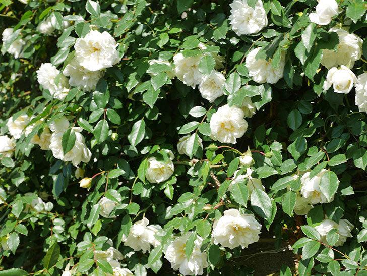 アルベリック・バルビエ(ツルバラ)の花が満開になった。ツルバラ。2021年-007.jpg