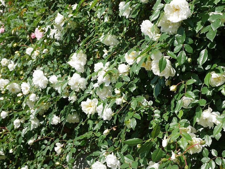 アルベリック・バルビエ(ツルバラ)の花が満開になった。ツルバラ。2021年-008.jpg